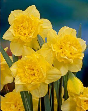 Big_Double_Daffodils